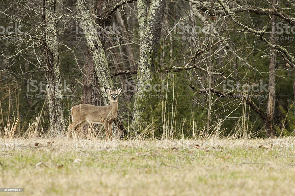 Whitetail Deer stock photo