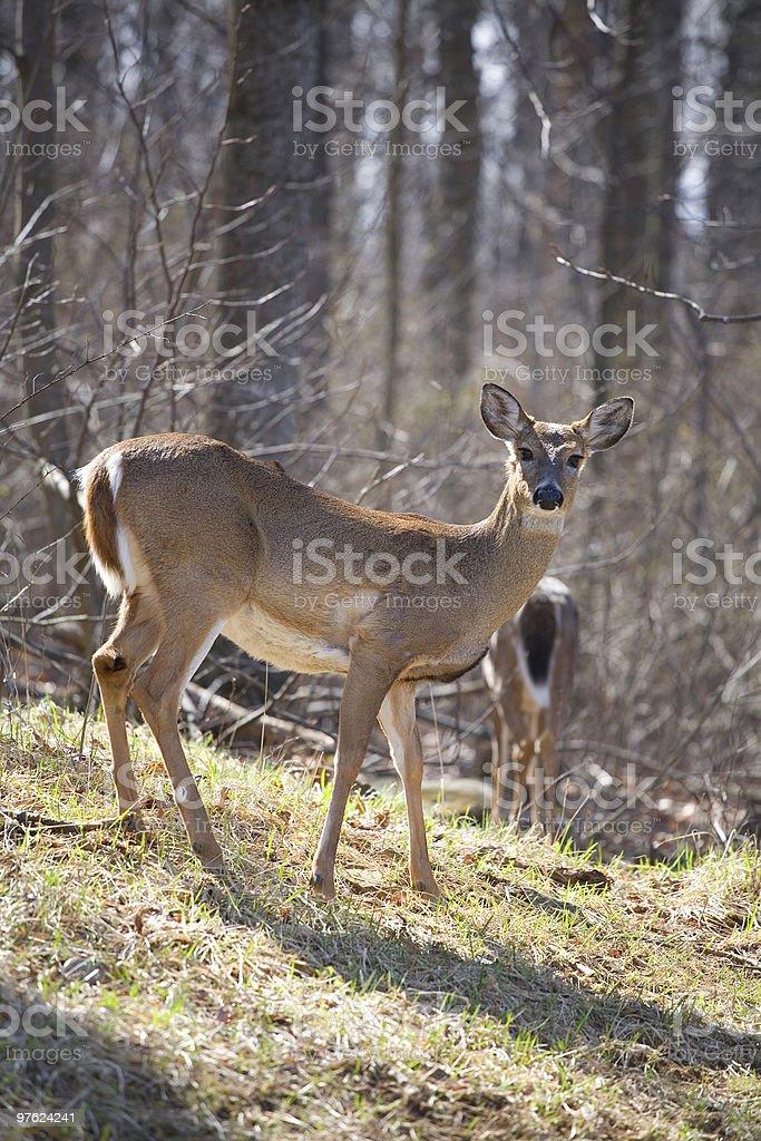 whitetail deer royaltyfri bildbanksbilder