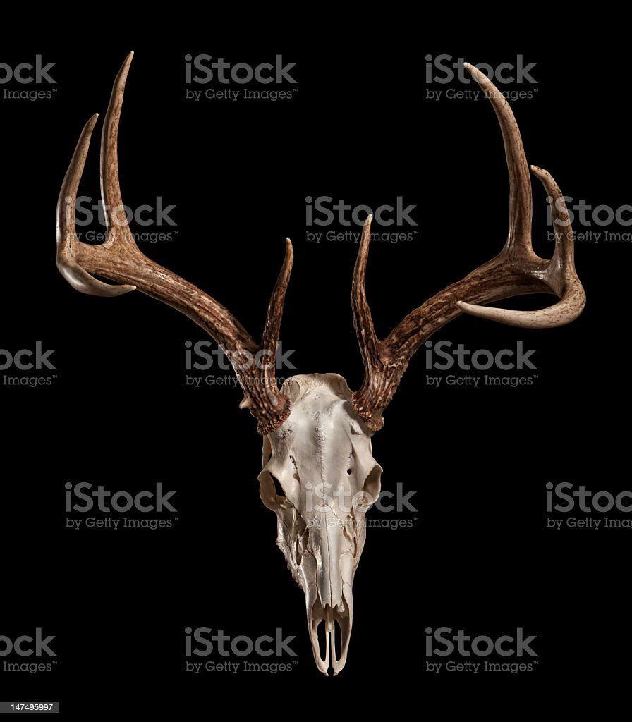 Whitetail Deer Skull with Clipping Path stock photo
