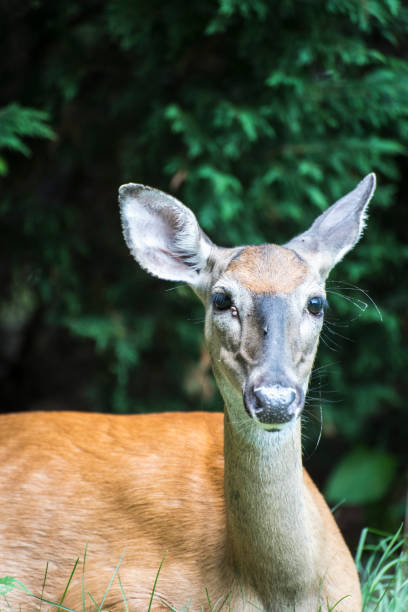 White-tail Deer with Parasites stock photo