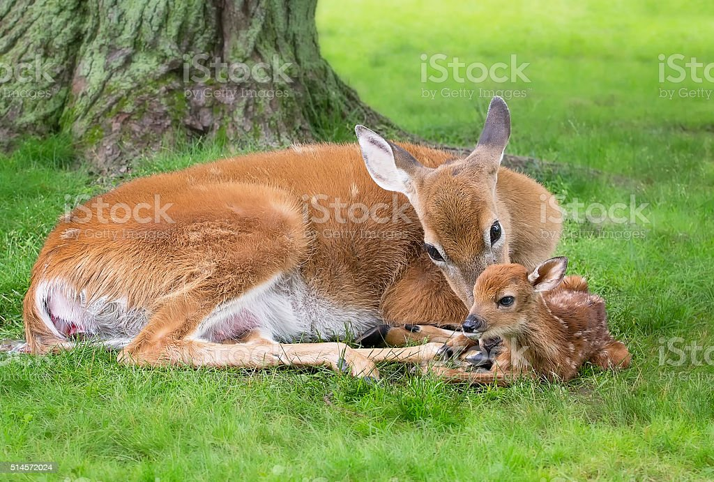 White-tail doe and fawn stock photo