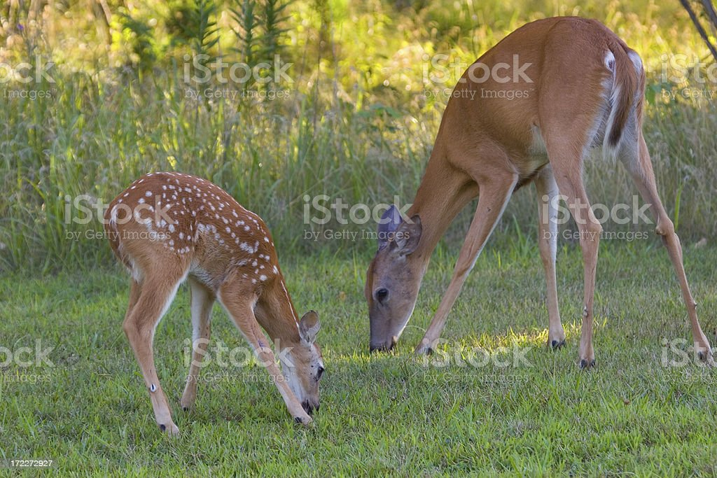 Whitetail Fawn and Doe royalty-free stock photo
