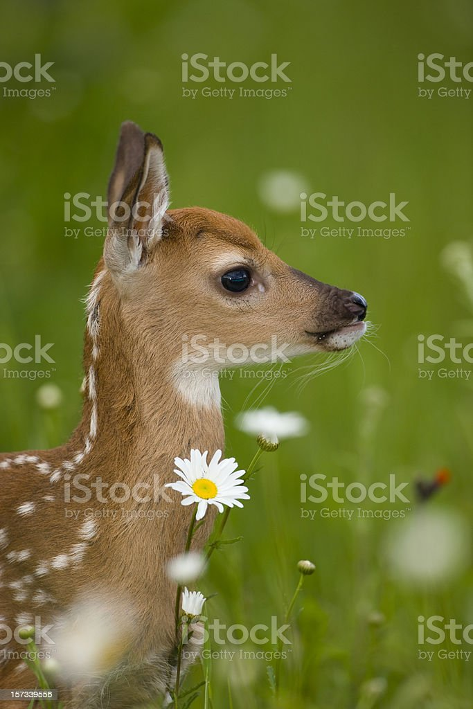 Whitetail fawn deer in flora. stock photo