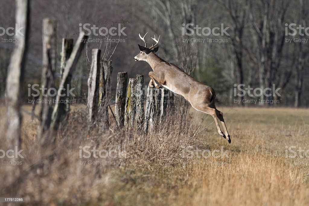 Whitetail Male Buck Deer Jumping Fence In Winter Stock Photo More