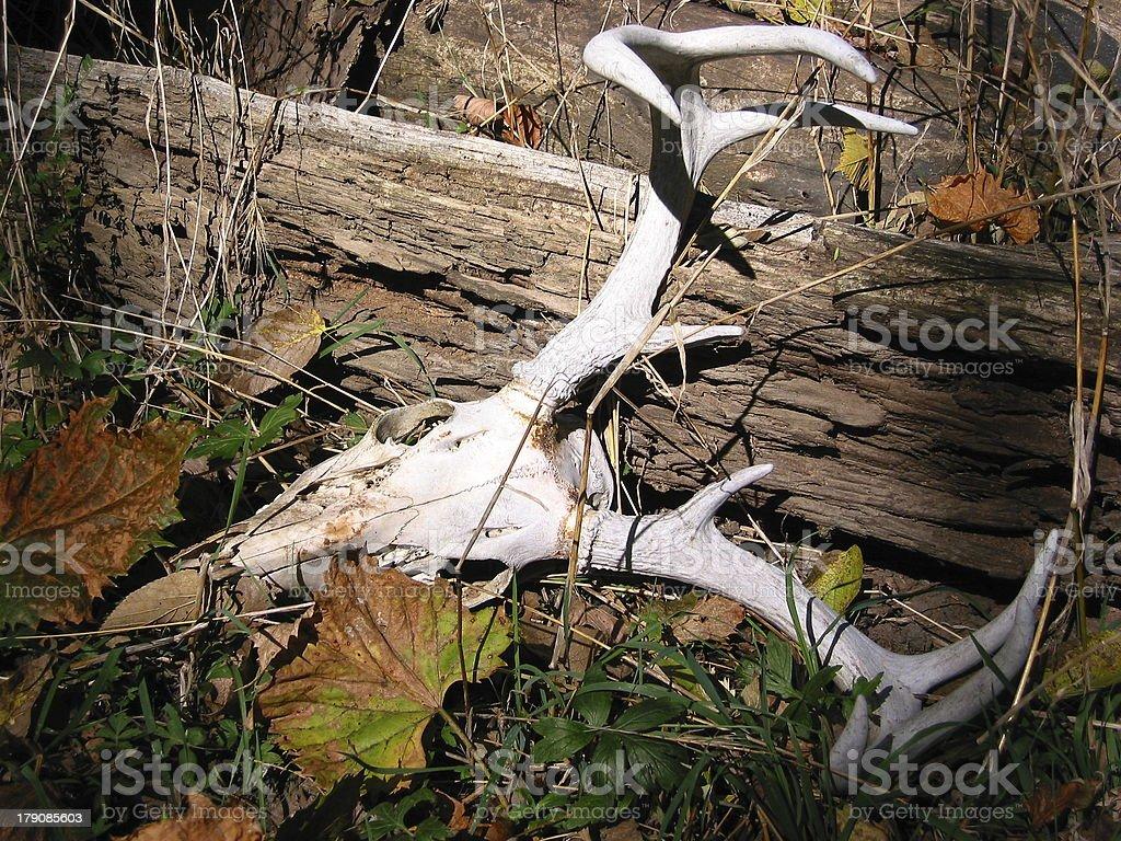 Whitetail Skull 4 royalty-free stock photo