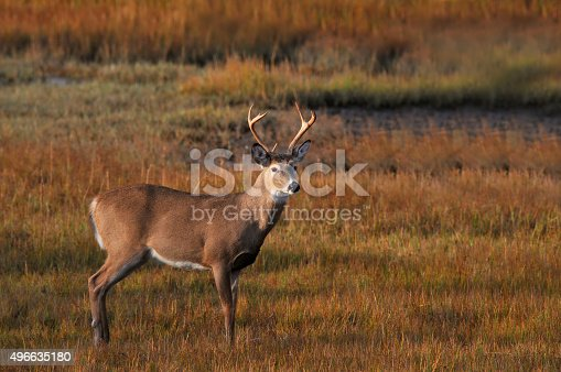 A White-tailed Buck caught at sunrise in the Assateague Island National Seashore marsh with the grasses turning red in the fall