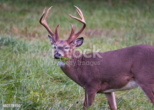 Alert white-tailed buck feeding in the grasslands of Cade's Cove, Tennessee