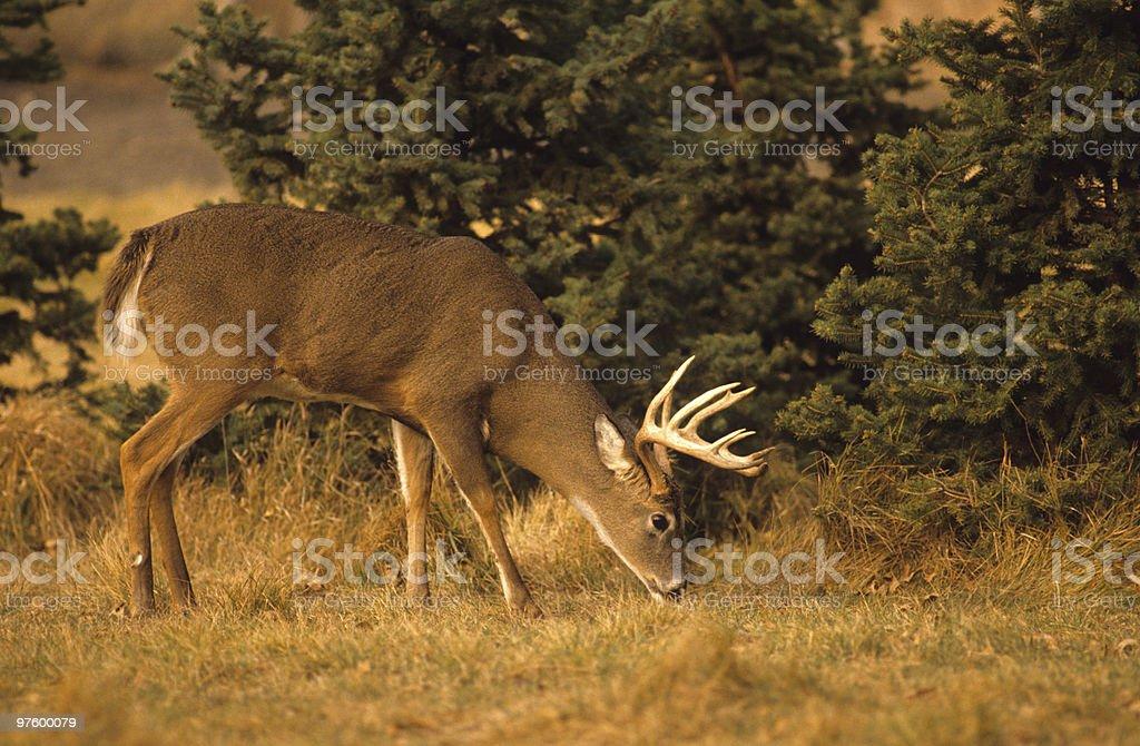 Buck à queue blanche manger photo libre de droits