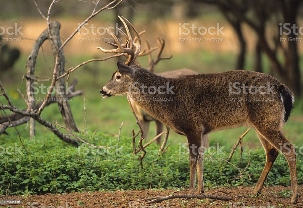 White-tailed Buck in full Rut royalty free stockfoto