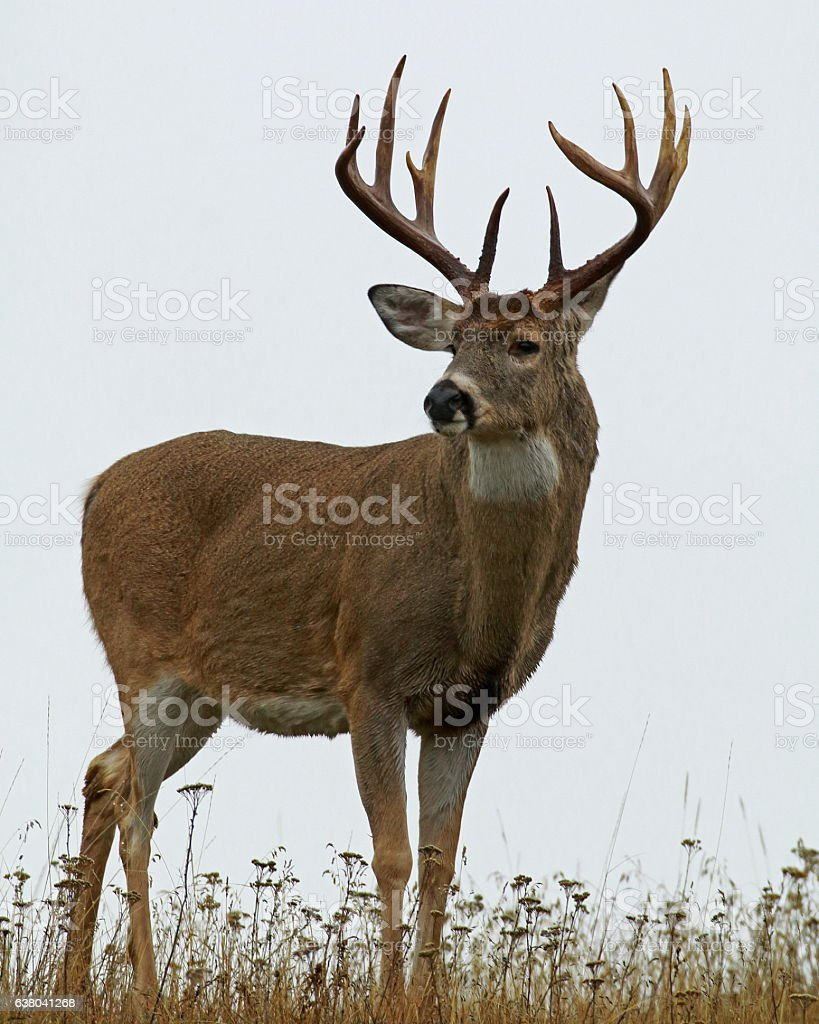 White-tailed Buck on Foggy Day stock photo