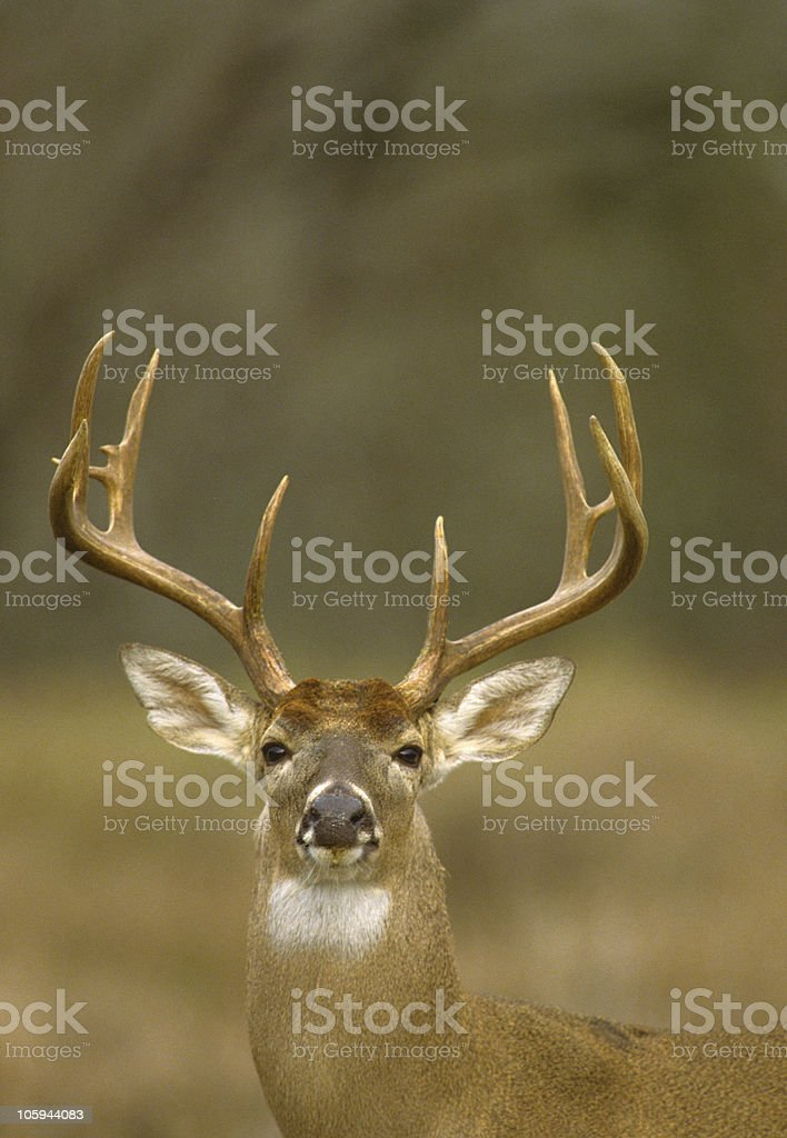 White-tailed Buck Portrait stock photo
