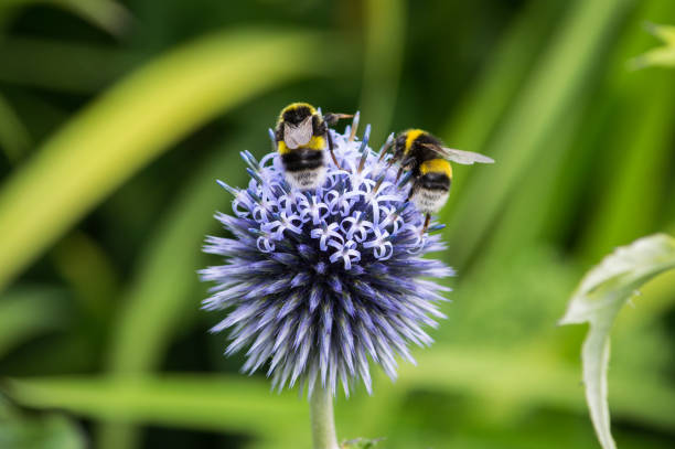 white-tailed bumblebees on a purple flower - bumblebee stock pictures, royalty-free photos & images