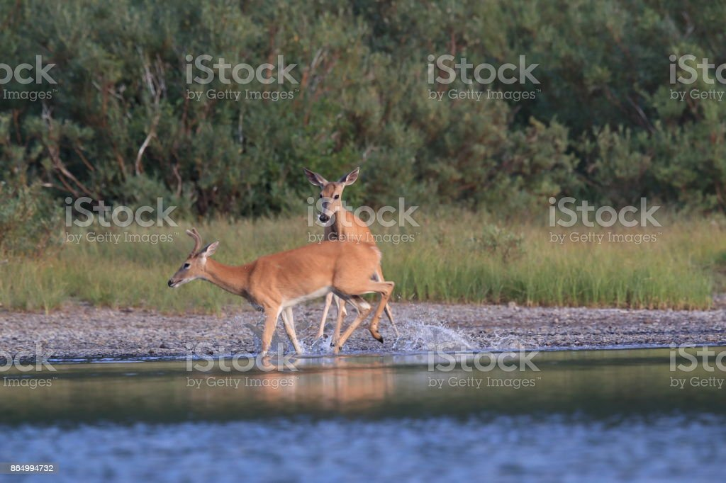 white-tailed deer at a alpine lake, Glacier National Park, Montana stock photo