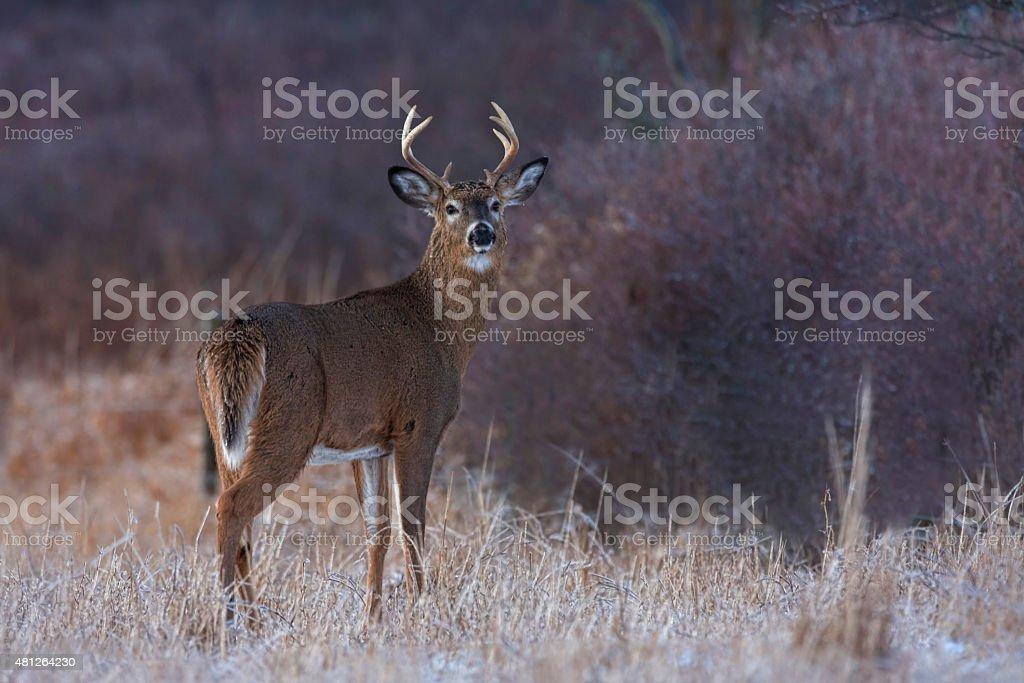 White-tailed Deer Buck in winter stock photo
