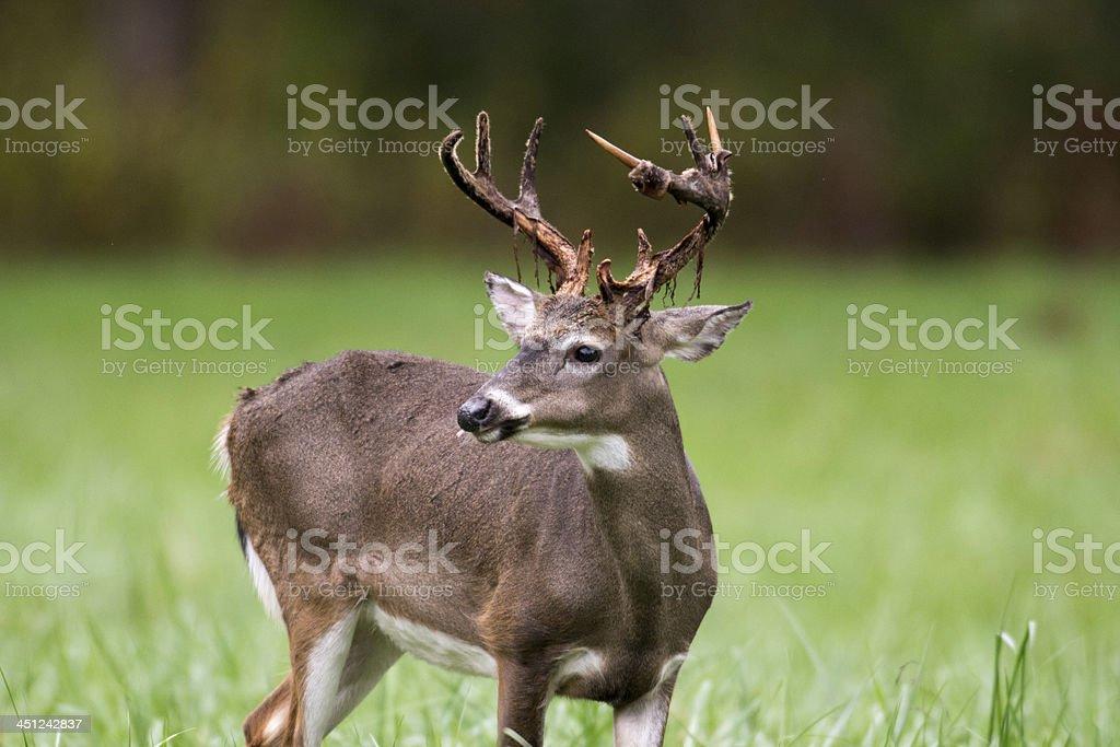Whitetailed deer buck stock photo