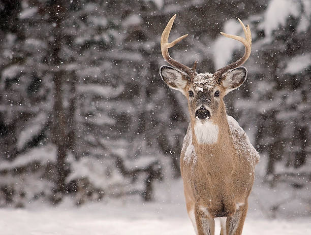 White-tailed deer buck Close up image of a white-tailed deer buck amongst a scenic winter landscape. stag stock pictures, royalty-free photos & images