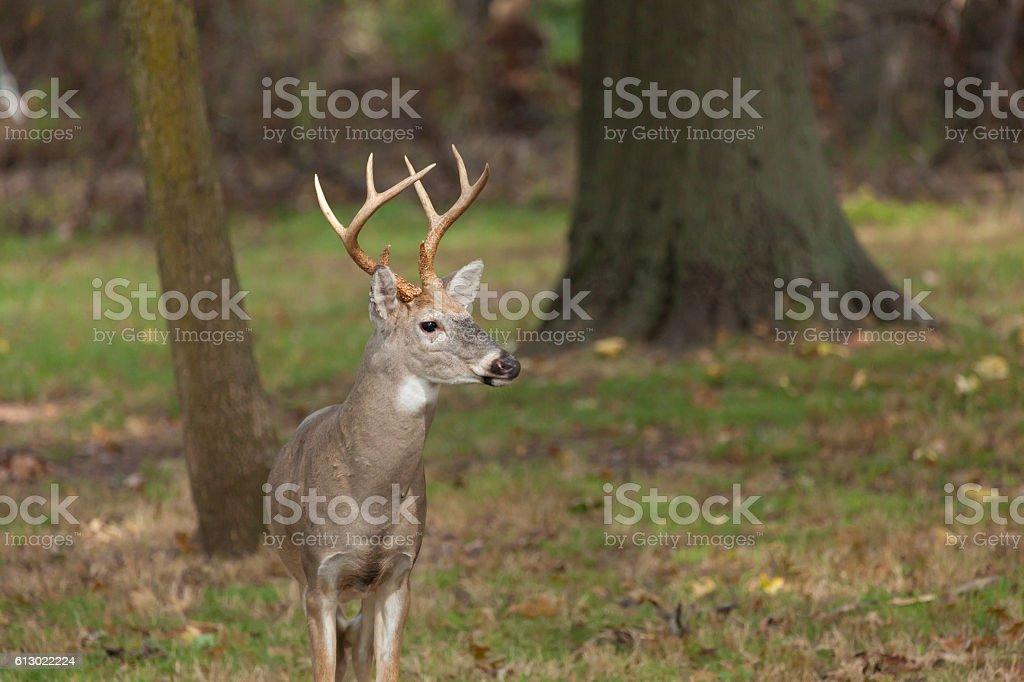 White-tailed Deer Buck stock photo
