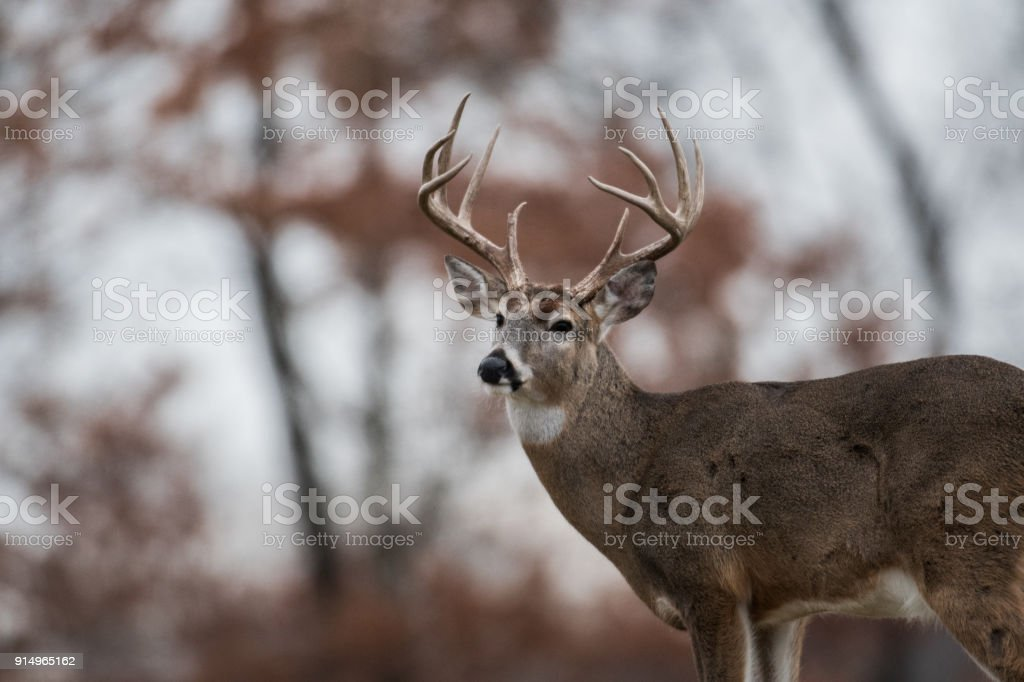 Whitetailed deer buck stock photo