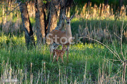 A Pretty White-tailed Deer Dow with baby Fawn in Farm Meadow