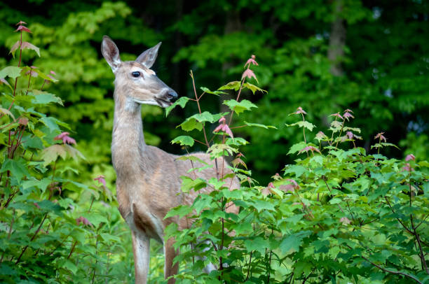 White-tailed deer eating stock photo