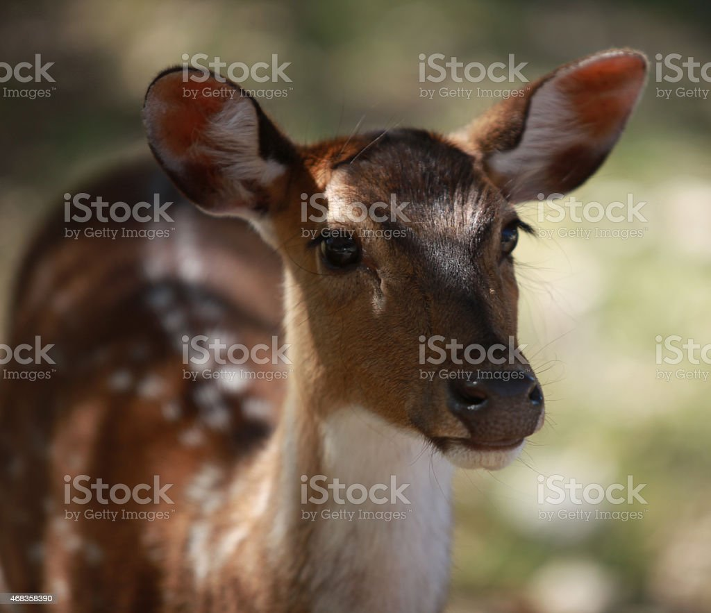 White-Tailed Deer Face at Fossil Rim Wildlife Center royalty-free stock photo