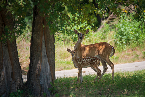 White-tailed deer, fawn and mother, under a shady tree in the woods on a hot summer day in Texas