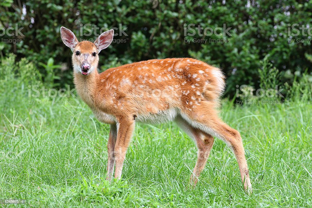 White-tailed Deer Fawn royalty-free stock photo