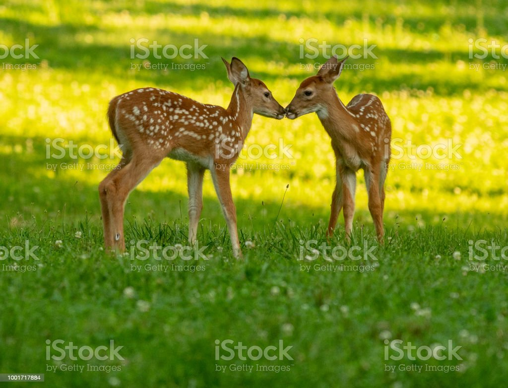 Whitetailed Deer fawns royalty-free stock photo