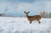 A Young White-tailed deer Roaming the Frosty Landscape