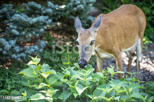 Close-up of young white-tailed deer in garden eating flowers.