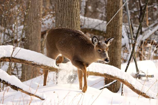 White-tailed deer in snow stock photo