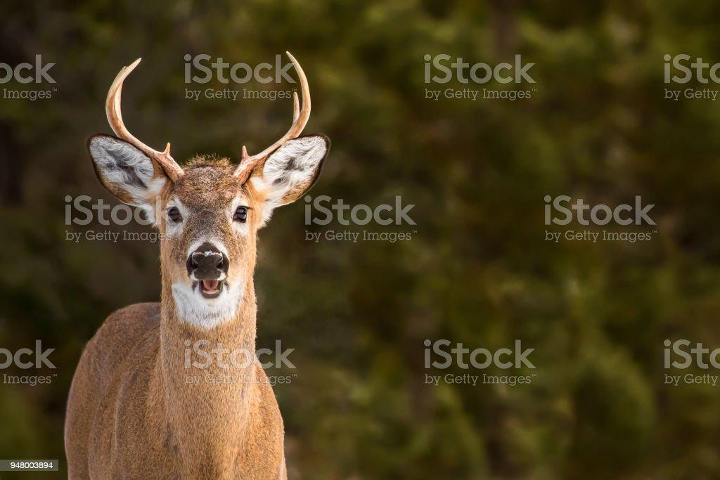White-tailed Deer - Odocoileus virginianus stock photo