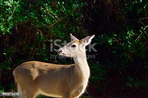 A female white-tailed deer, Odocoileus virginianus, looks over her shoulder unconcerned with me, she must know that she's safe in the cape hatteras national seashore