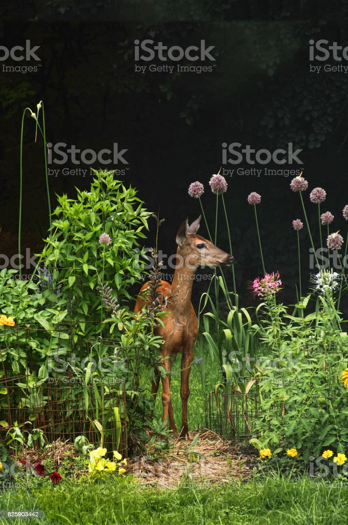 white-tailed doe white-tailed deer in a backyard garden Animal Stock Photo