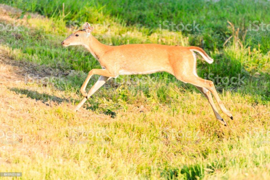 White-tailed doe running stock photo
