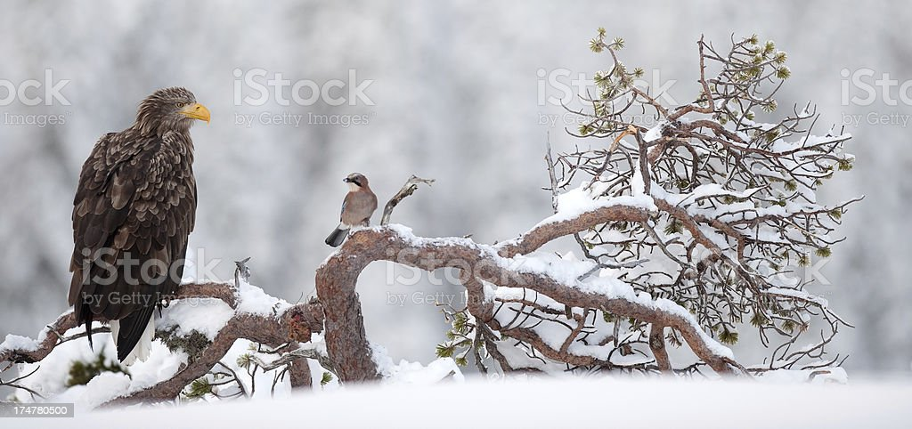 White-Tailed Eagle(Sea Eagle) and Jay royalty-free stock photo