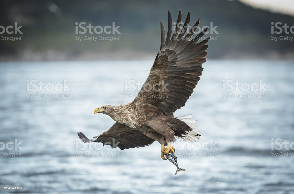 White-tailed eagle caryying a coal fish stock photo