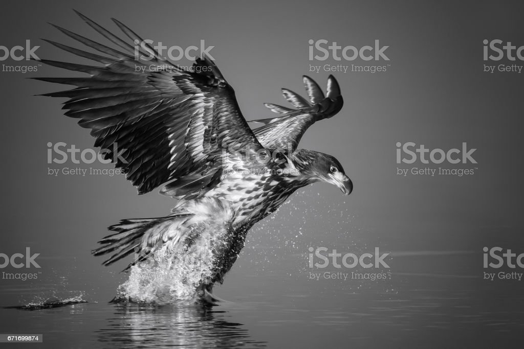 White-tailed Eagle catches the fish stock photo