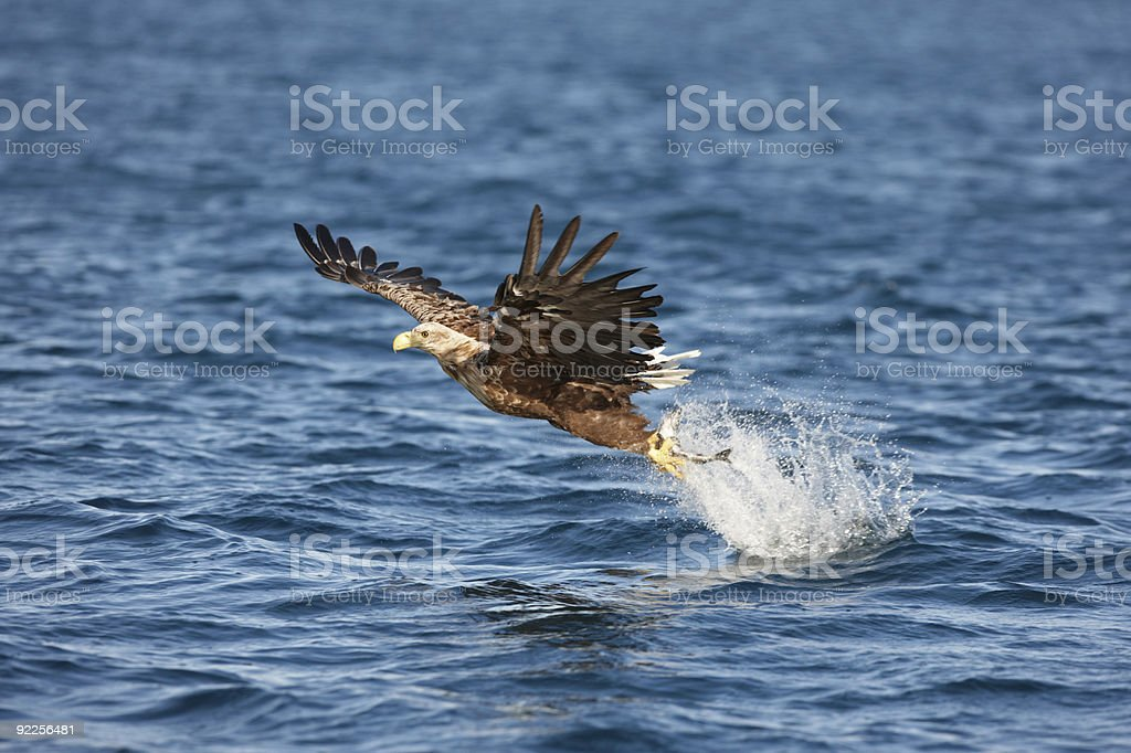 White-tailed Eagle catching a fish stock photo
