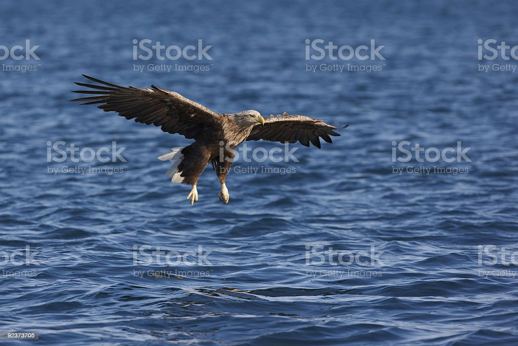 White-tailed Eagle (Haliaeetus albicilla) going to catch a fish royalty-free stock photo
