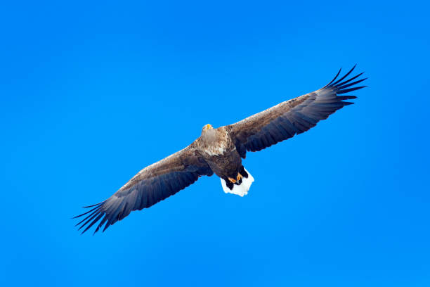 White-tailed eagle, Haliaeetus albicilla, big bird of prey on the dark blue sky, with white tail, Japan. Action wildlife scene from sky. Big bird of prey on the sky. stock photo