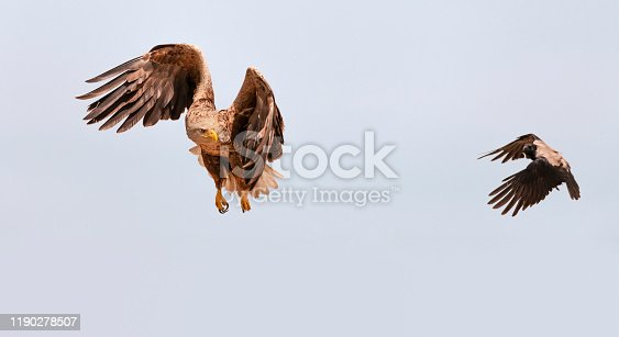 White-tailed Eagle, Haliaeetus albicilla, in flight, looking at a Hooded Crow, Corvus corone, which has been mobbing it. Plenty of copy space. Photographed in the Ultima Frontiera area of the Danube Delta Biosphere Reserve in eastern Romania