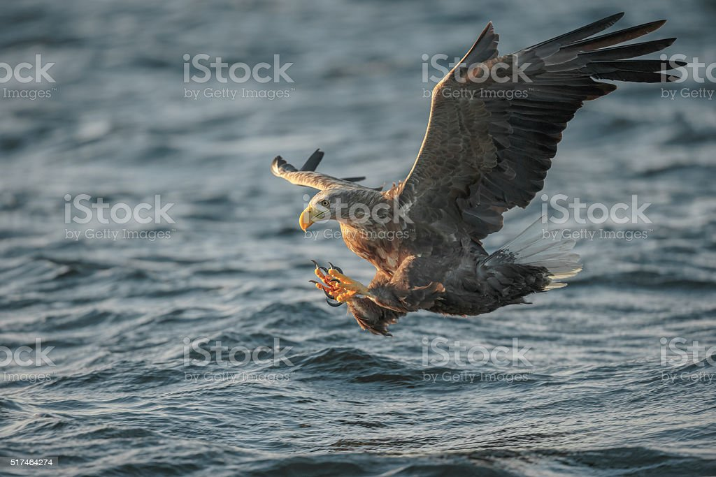 White-tailed Eagle Hunting stock photo