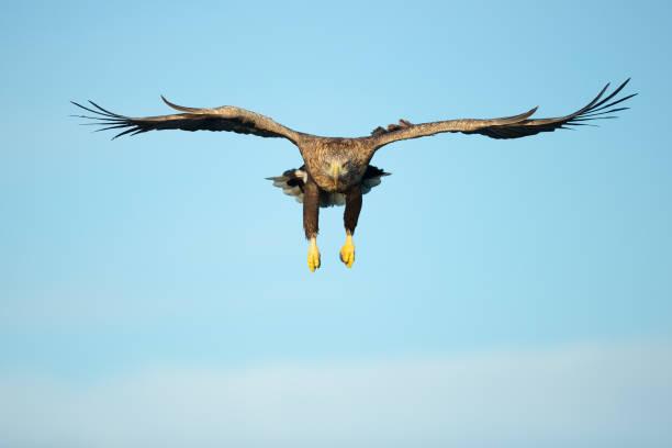 Whitetailed eagle hunting picture id964929492?b=1&k=6&m=964929492&s=612x612&w=0&h=e1qzq1kxidleahbsopksxxv8fphogtj9kas11g3rs10=