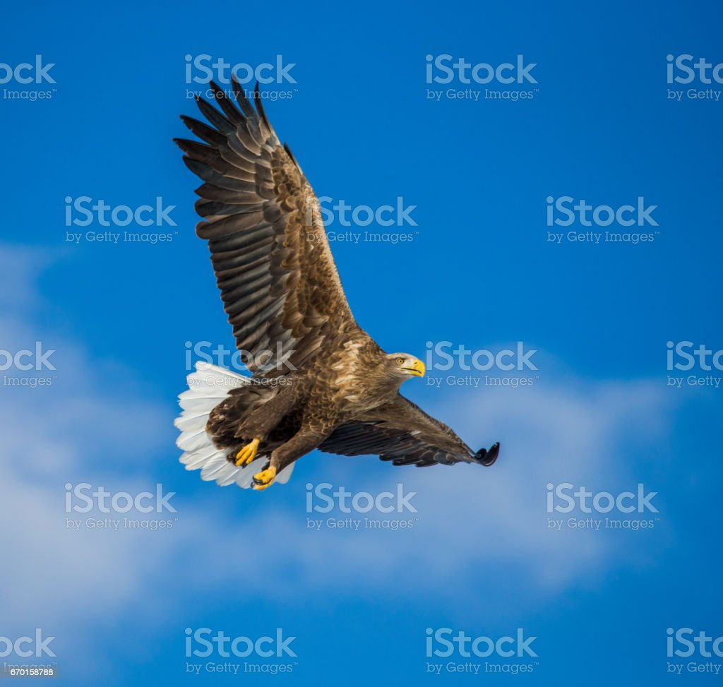 White-tailed eagle in flight on background blue sky. stock photo