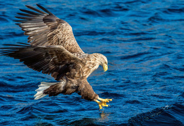 White-tailed eagle is fishing stock photo