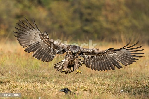 istock White-tailed eagle landing on the ground from front view 1326264952