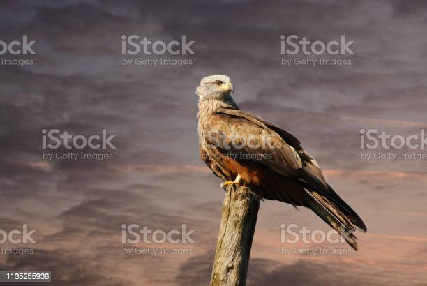 Photo of White-tailed eagle on top of a wooden post.