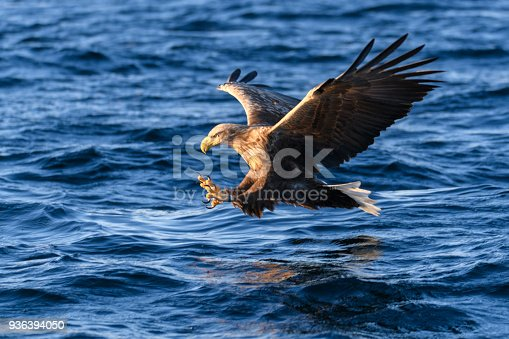 White-tailed eagle or sea eagle catching a fish in  a Fjord near Vesteralen island in Northern Norway.
