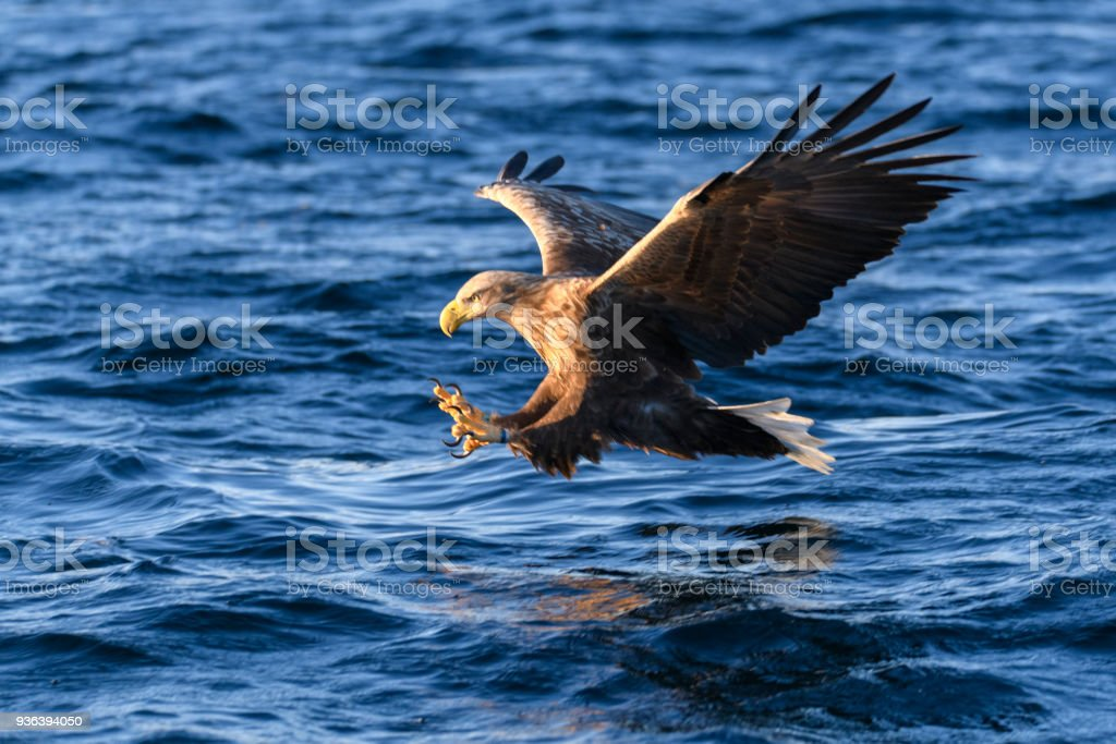 White-tailed eagle or sea eagle catching a fish in  a Fjord near Vesteralen island in Northern Norway - foto stock